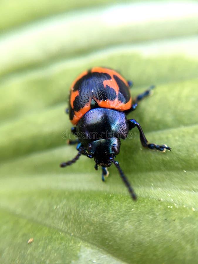 Escarabajo anaranjado y negro del Milkweed en una hoja verde foto de archivo