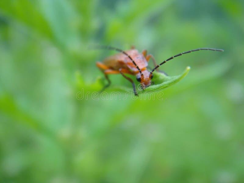Escarabajo colorido - escarabajo fuego-coloreado dirigido rojo imagen de archivo libre de regalías