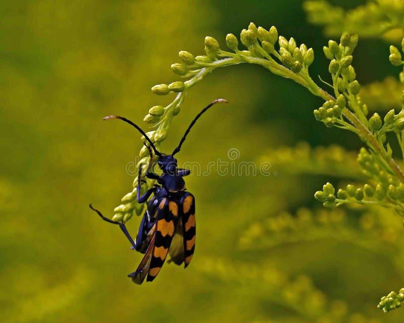 escarabajo Cuatro-congregado del fonolocalizador de bocinas grandes imagen de archivo