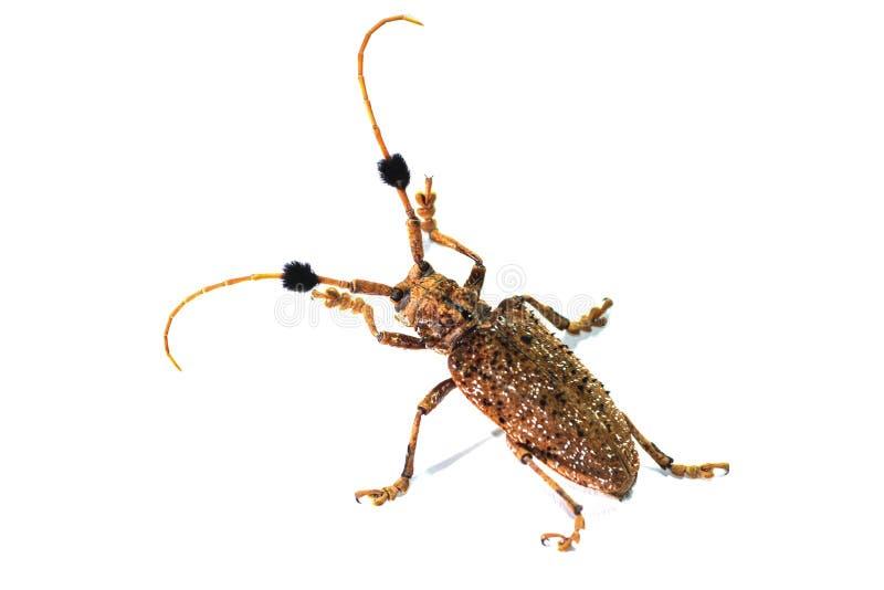 Escarabajo de Brown fotografía de archivo