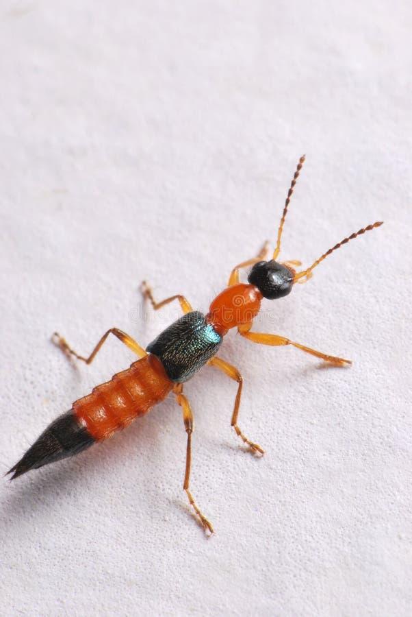 Escarabajo de correría fotos de archivo libres de regalías