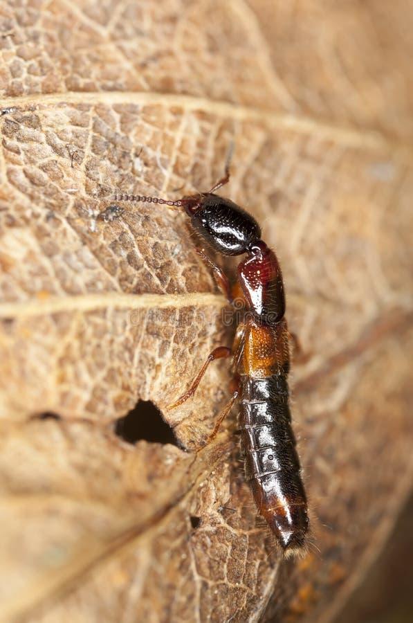 Escarabajo de correría. Primer extremo. foto de archivo libre de regalías