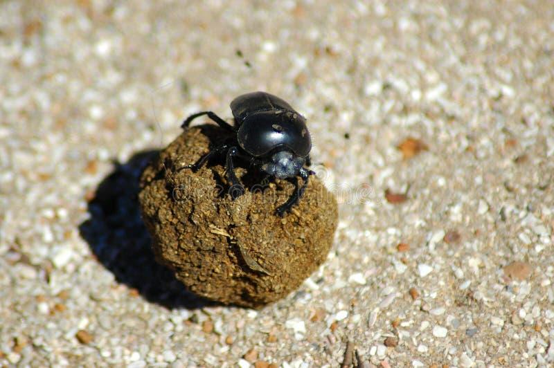 Escarabajo de estiércol imagen de archivo