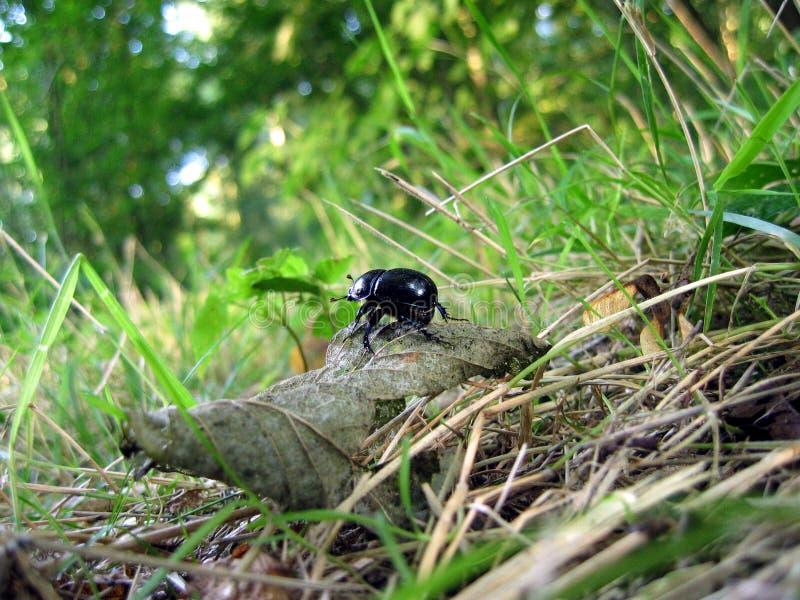 Escarabajo de estiércol fotos de archivo libres de regalías