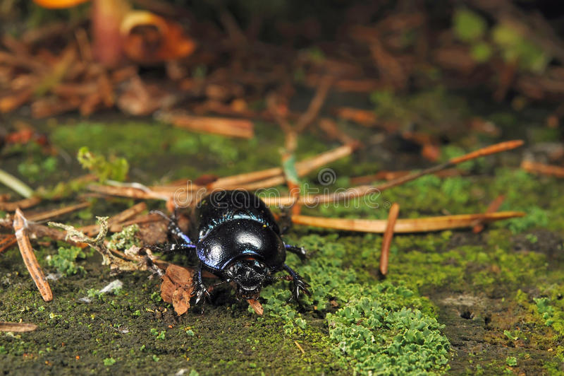 Escarabajo de estiércol del bosque fotografía de archivo libre de regalías