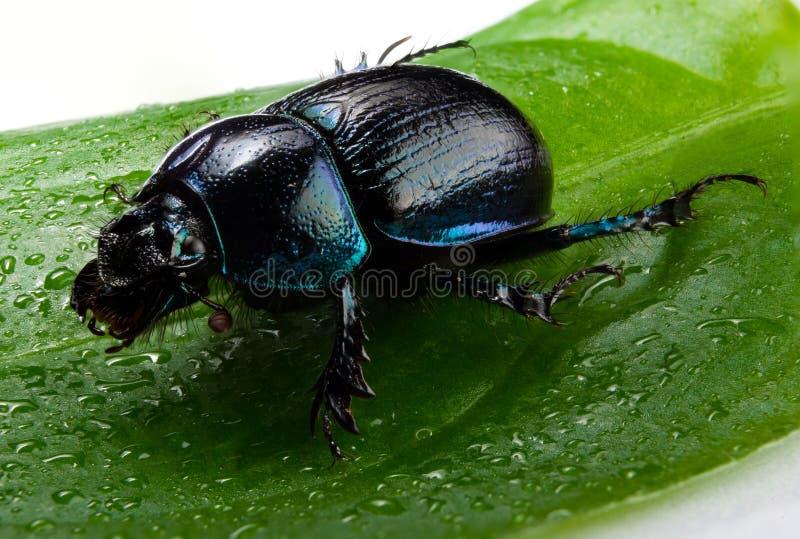Escarabajo de estiércol del bosque imágenes de archivo libres de regalías