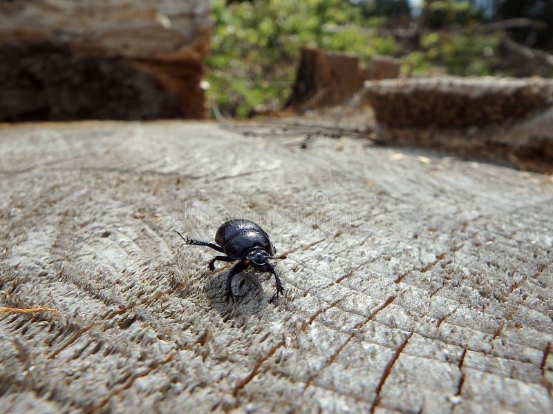escarabajo de estiércol del Tierra-taladro imagenes de archivo