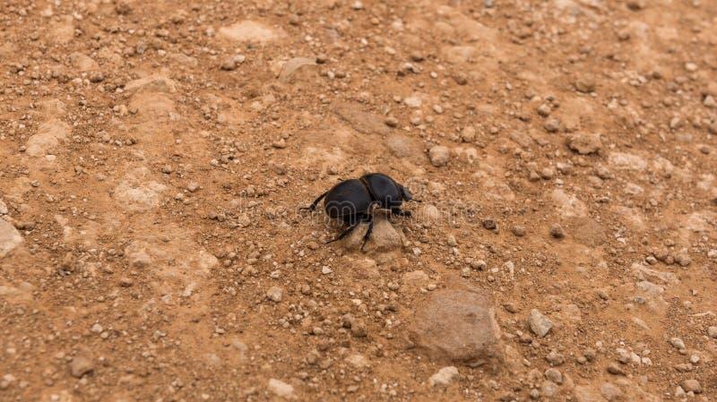 Escarabajo de estiércol Flightless que busca para que excrementos del elefante traigan a casa, Addo Elephant Park fotos de archivo