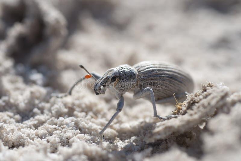 Escarabajo de estiércol, México imágenes de archivo libres de regalías
