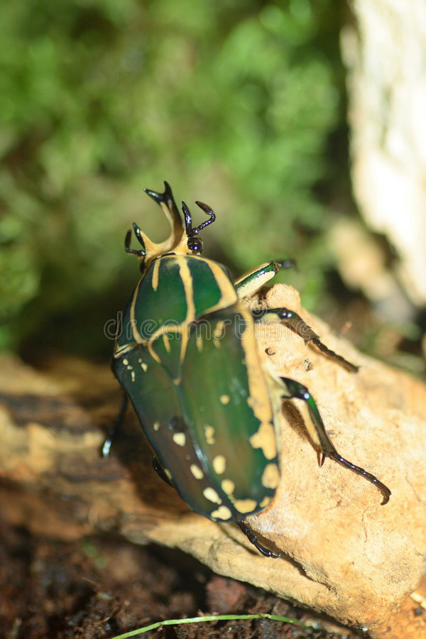 Escarabajo de Goliath fotografía de archivo