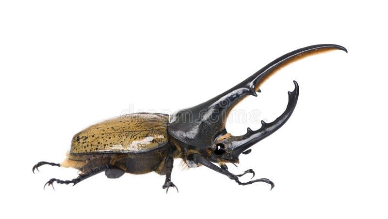 Escarabajo de Hércules contra el fondo blanco fotografía de archivo