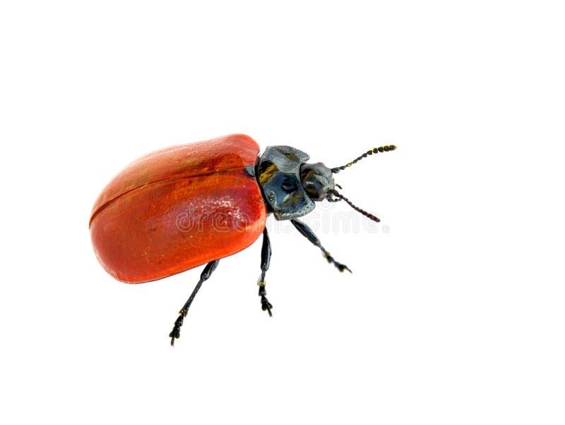 Download Escarabajo de hoja rojo imagen de archivo. Imagen de negro - 41914593