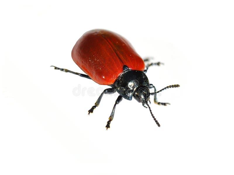 Download Escarabajo de hoja rojo imagen de archivo. Imagen de frente - 41914597