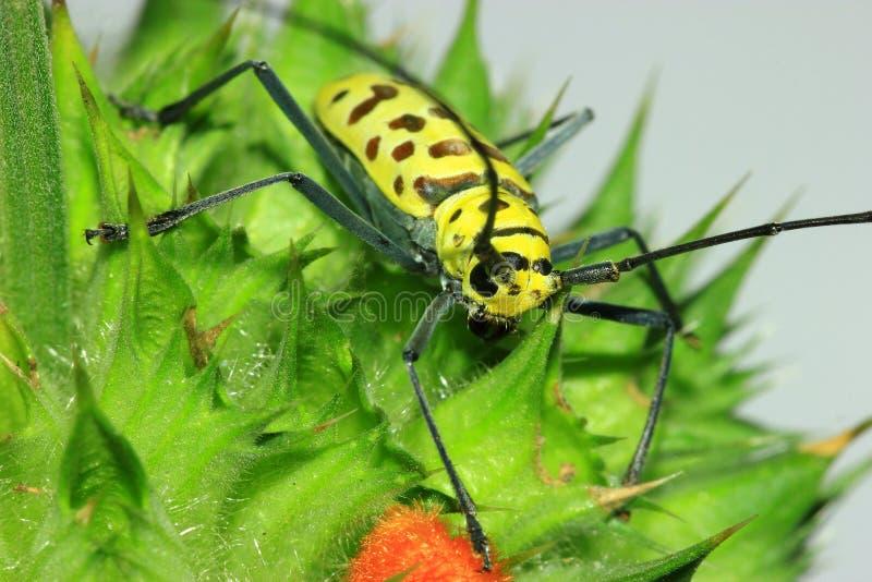 Escarabajo de la araña del espejo de la longitud (bosci de Gerania) imagenes de archivo