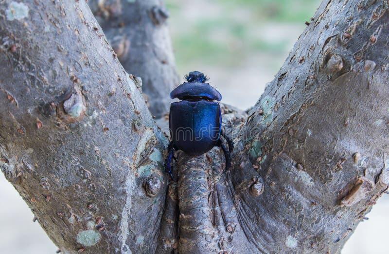 Escarabajo de la flor fotos de archivo