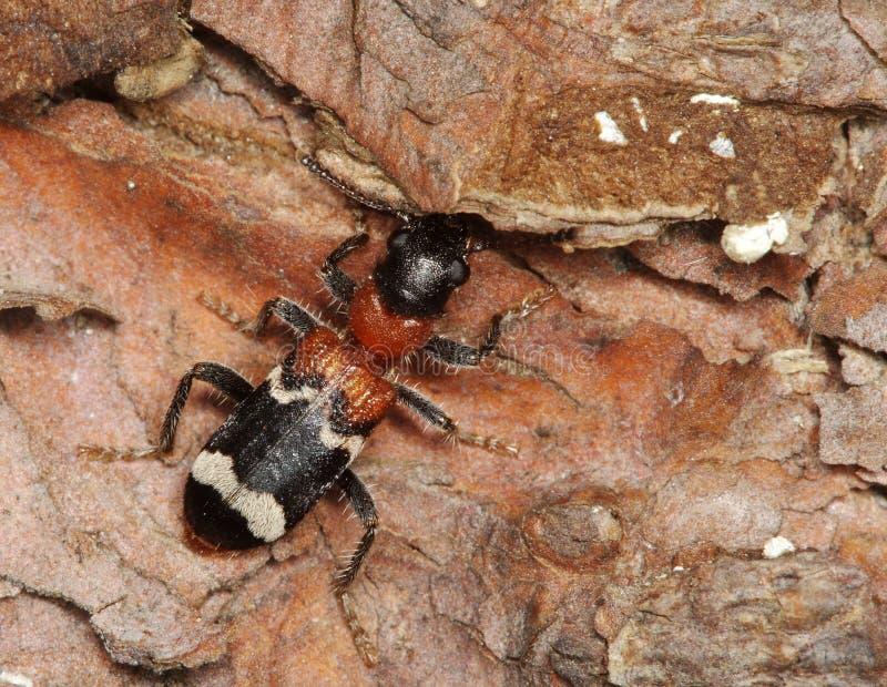 Escarabajo de la hormiga imágenes de archivo libres de regalías