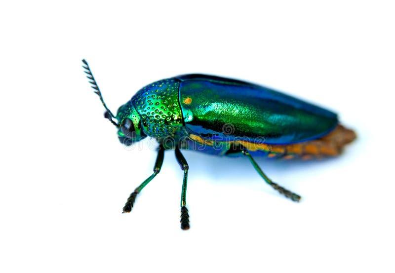 Escarabajo de la joya fotografía de archivo