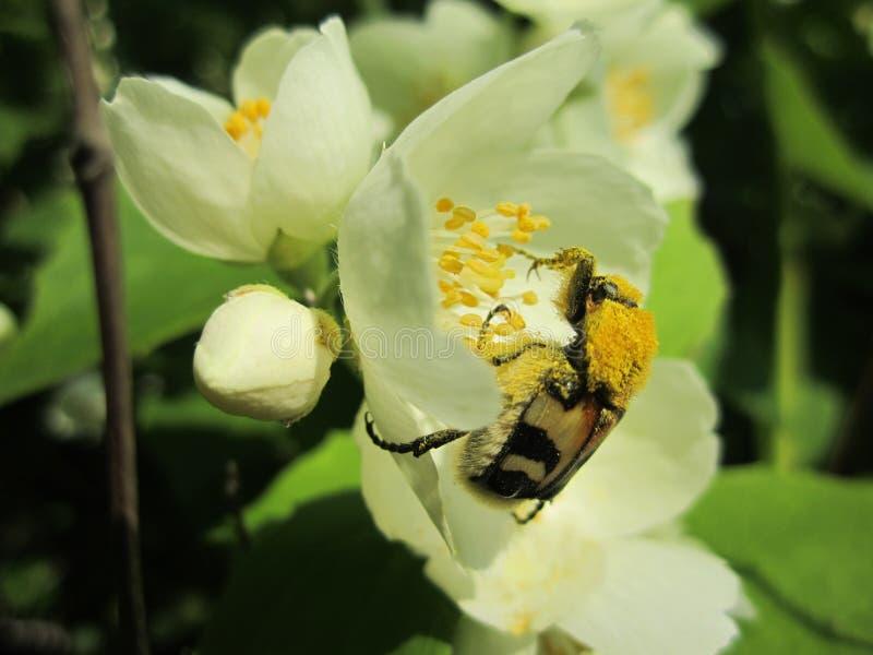 Escarabajo de la naturaleza en polen en la flor del jazmín foto de archivo