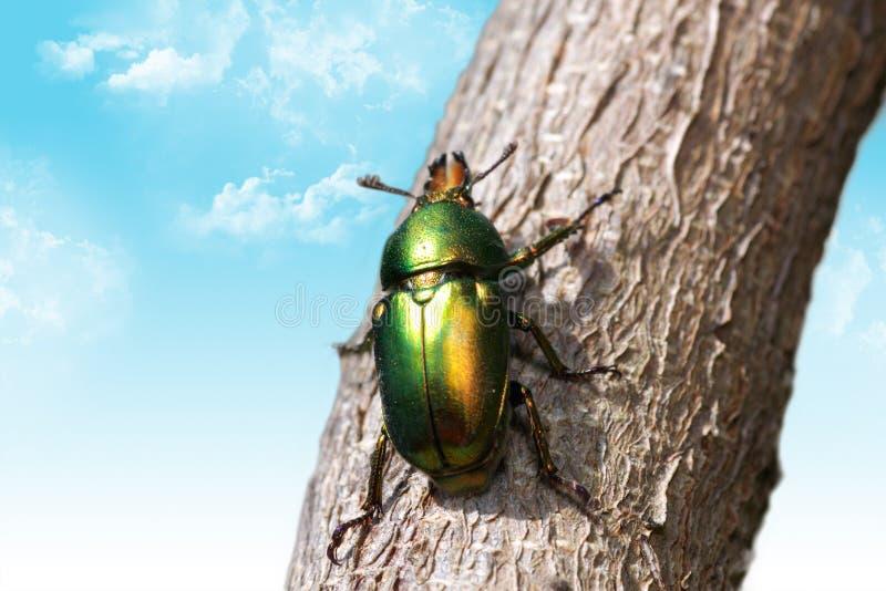 Escarabajo de la Navidad imagen de archivo libre de regalías