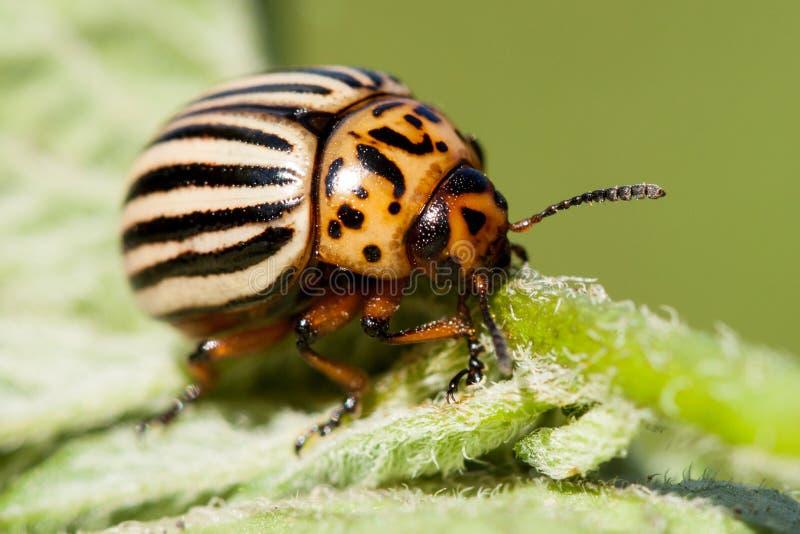 Escarabajo de la patata fotos de archivo