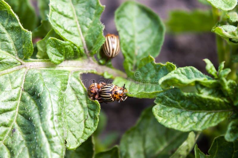 Escarabajo de la patata imágenes de archivo libres de regalías