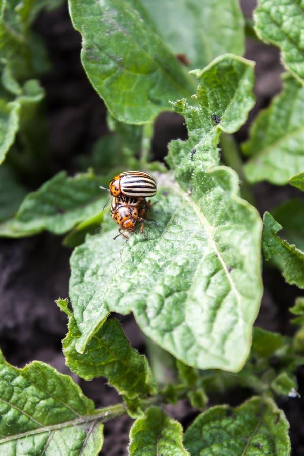 Escarabajo de la patata fotografía de archivo