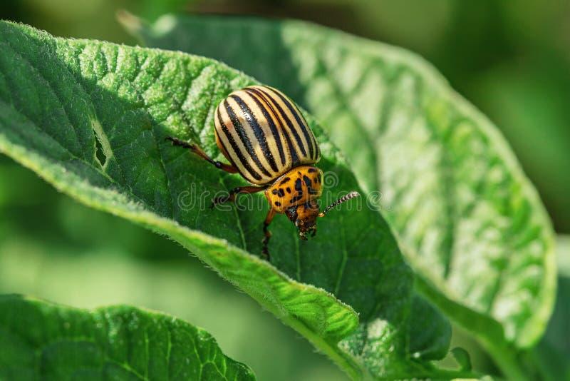 Escarabajo de la patata en las hojas de patatas en jardín foto de archivo libre de regalías