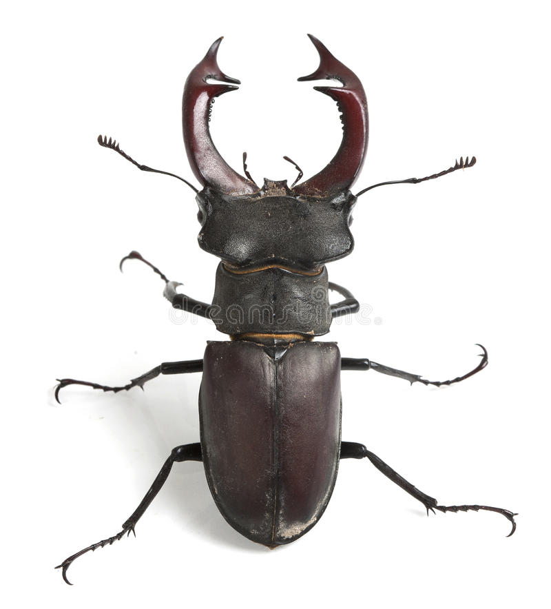 Escarabajo de macho imagenes de archivo