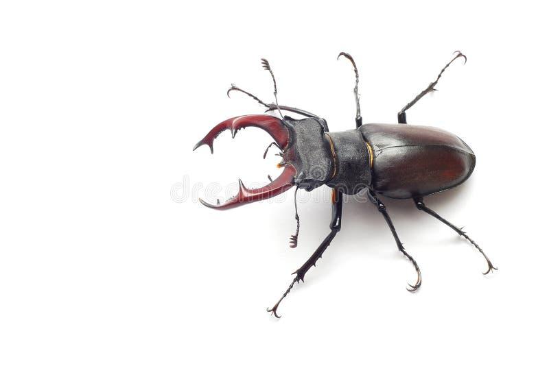 Escarabajo de macho imágenes de archivo libres de regalías