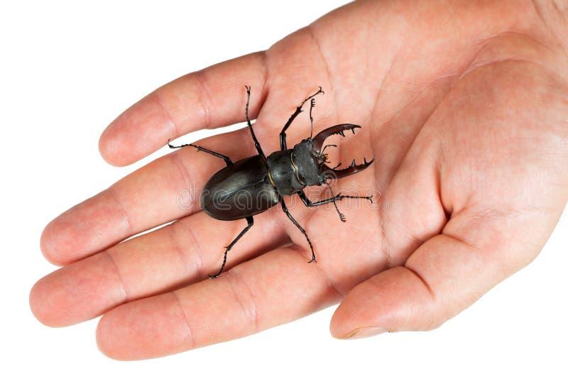 Escarabajo de macho, cervus de Lucanus, en una mano humana aislada en blanco Primer, visi?n superior imagenes de archivo