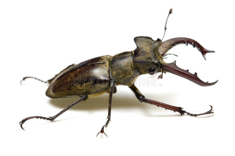 Escarabajo de macho de Miyama fotografía de archivo