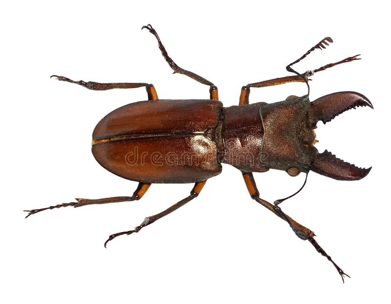 Escarabajo de macho del cervus de Lucanus aislado en blanco imágenes de archivo libres de regalías