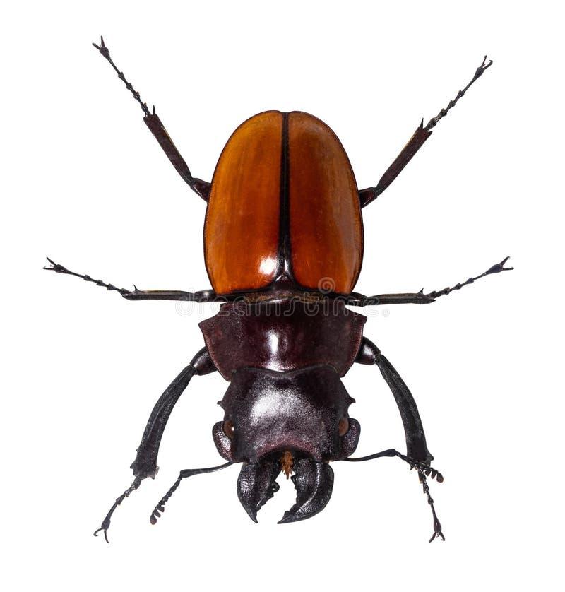 Escarabajo de macho del cervus de Lucanus aislado en blanco foto de archivo libre de regalías