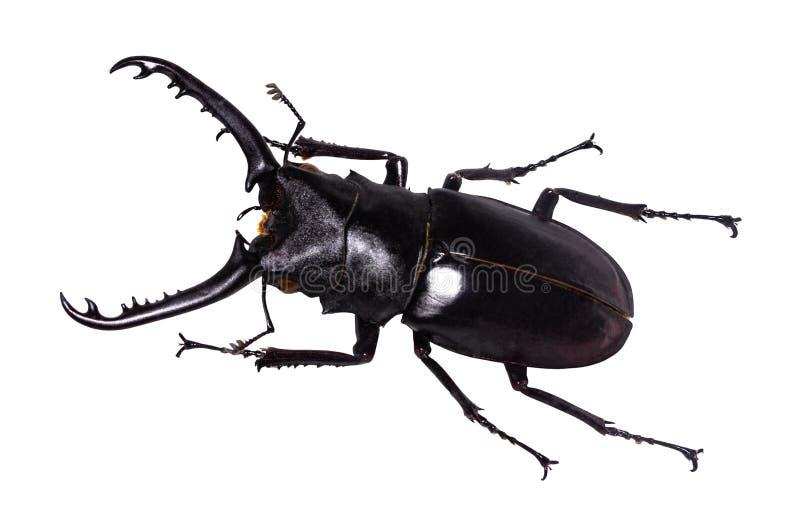 Escarabajo de macho del cervus de Lucanus aislado en blanco fotografía de archivo