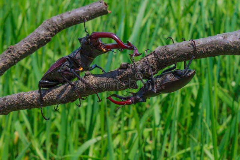Escarabajo de macho dos que acerca imagen de archivo libre de regalías