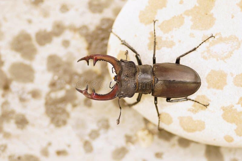 Escarabajo de macho en la lluvia fotografía de archivo