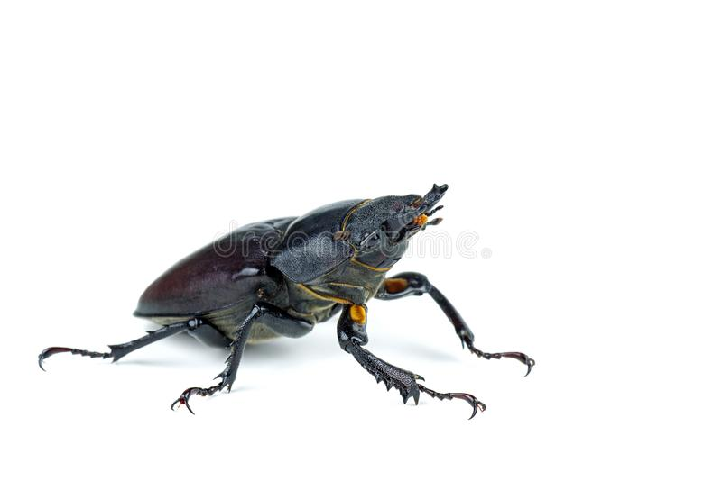 Escarabajo de macho femenino, cervus de Lucanus aislado en el fondo blanco imagen de archivo libre de regalías