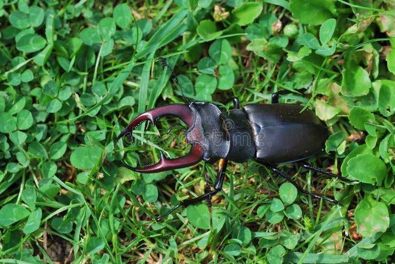 Escarabajo de macho grande en el prado fotografía de archivo