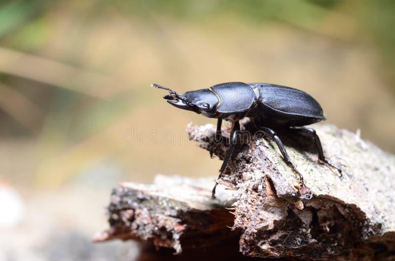 Escarabajo de macho, parallelipipedus de Dorcus fotos de archivo