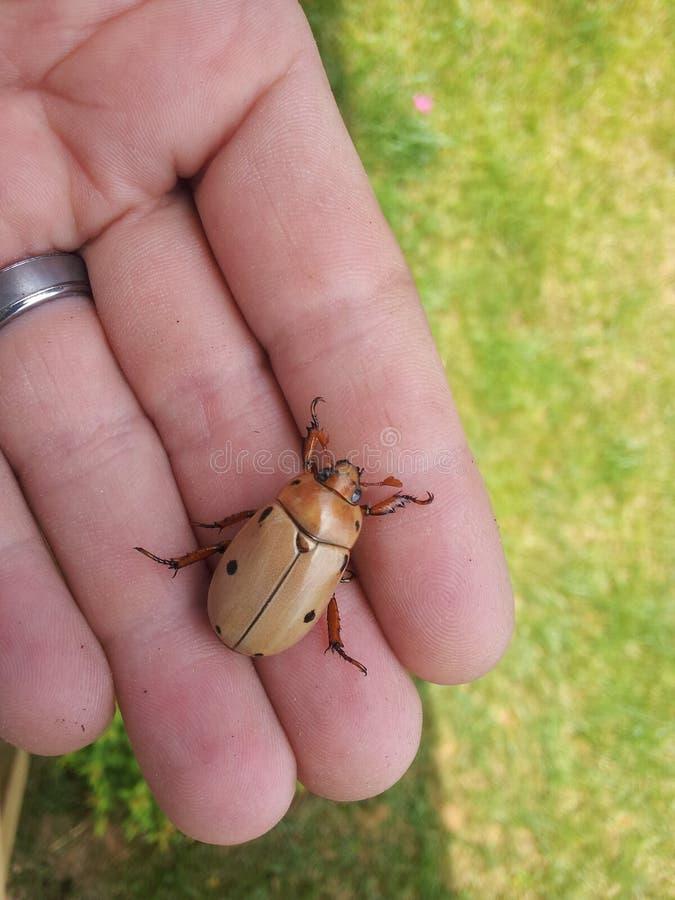 Escarabajo de madera imagenes de archivo
