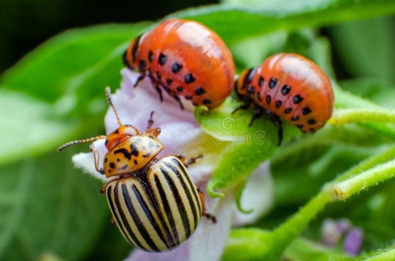 Escarabajo de patata de Colorado y larva roja que se arrastran y que comen las hojas de la patata imagen de archivo