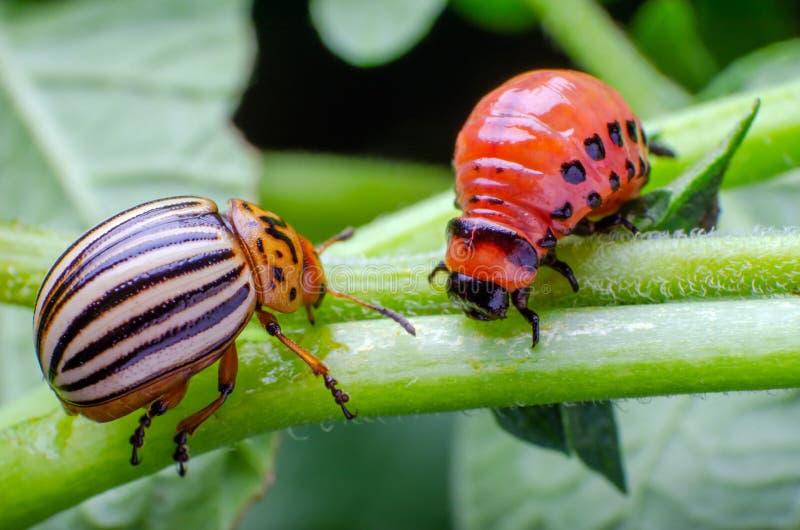 Escarabajo de patata de Colorado y larva roja que se arrastran y que comen las hojas de la patata imágenes de archivo libres de regalías