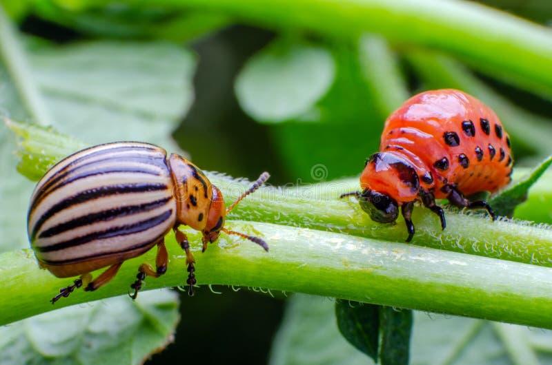 Escarabajo de patata de Colorado y larva roja que se arrastran y que comen las hojas de la patata fotos de archivo