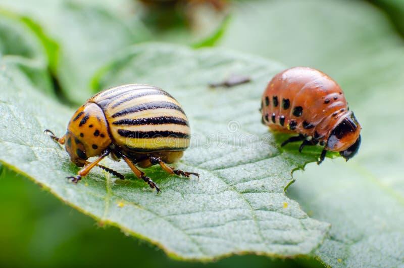 Escarabajo de patata de Colorado y larva roja que se arrastran y que comen las hojas de la patata foto de archivo libre de regalías