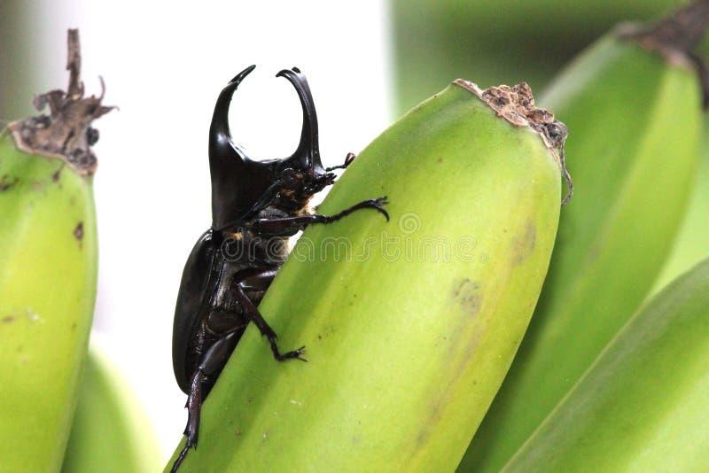 Escarabajo de Rhono imagen de archivo libre de regalías