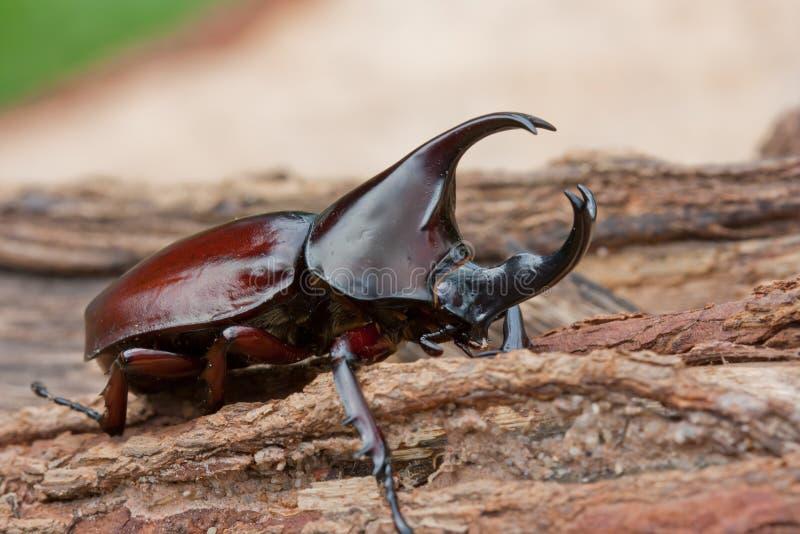 Escarabajo de rinoceronte imágenes de archivo libres de regalías