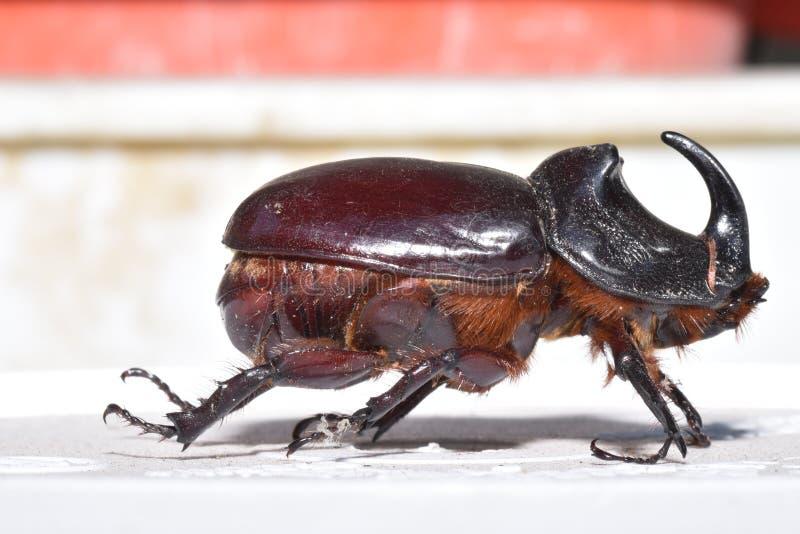 Escarabajo de rinoceronte imagen de archivo