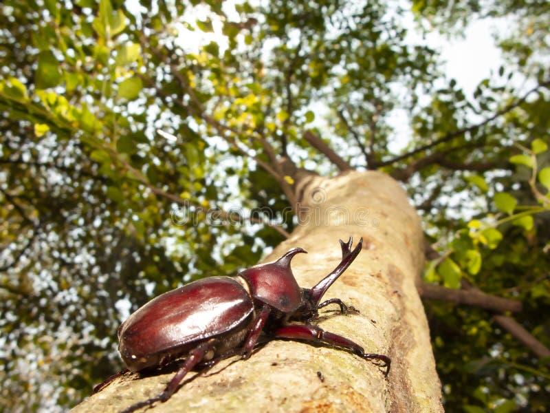 Escarabajo de rinoceronte del primer, escarabajo del rinoceronte, escarabajo de Hércules, escarabajo del unicornio imagen de archivo