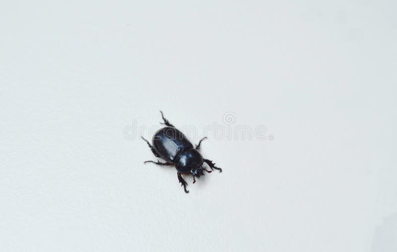 Escarabajo de rinoceronte femenino que se arrastra en el suelo de baldosas blanco imagenes de archivo