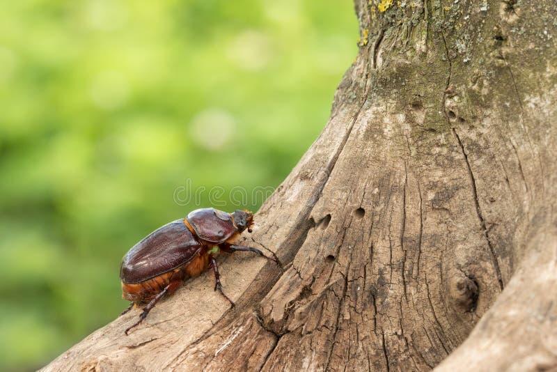 Escarabajo de rinoceronte femenino que se arrastra encima del árbol foto de archivo